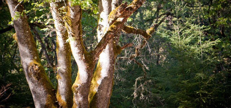 beautiful tree trunks dappled in sun with forest in background at Bell Valley Retreat